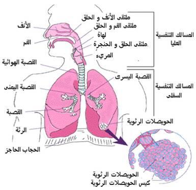 رسم توضيح للجهاز التنفسي